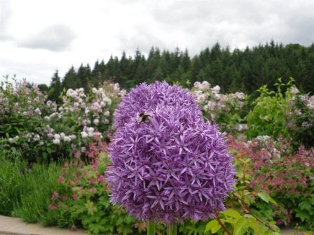 New Lanark Roof Garden - allium flower heads with wildlife